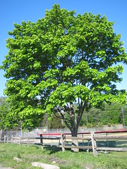 Tree with Green Leaves (sameold2010) Tags: park new tree green field leaves fence leaf newjersey spring woods nj jersey crows haddonfield 2013 crowwoods
