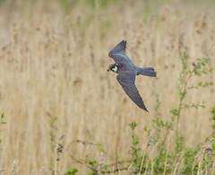 PL1D7197 Hobby (Falco subbuteo), Brandon Marsh, Warwickshire 13 May 2013 (Lathers) Tags: warwickshire brandonmarsh canoneos1dmarkiv canonef500f4lisusm wkwt 13may2013