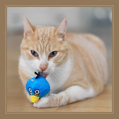 Stanley - new drug toy (No_Water) Tags: cute bird cat toy tiger stanley angry nip addicts katzenminze badrian