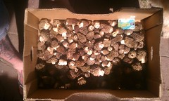 8lbs...3 hours yesterday! (2ONE5-1981 (S.O.B.A.)) Tags: mountains mushrooms hiking fungi cascade shrooms morel morchella