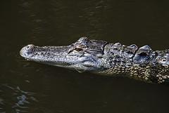Color, texture and stealth of an Alligator (jungle mama) Tags: alligator marsh wetland wakodahatchee alligatormississippiensis blinkagain wakodahatcheewetlandsdelraybeachfl