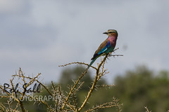 Lilac Breasted Roller (robsall) Tags: africa vacation bird birds wildlife birding aves ave roller uganda rollers albertine rift lilacbreastedroller coraciascaudata wildlifephotography lakemburonationalpark albertinerift lilacbreastedrollers lilacroller robsall africaalbertinerift lilacrollers robsallwildlifephotography lakemburonationalparkuganda lakemburouganda