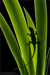 Green Anole Silhouette (www.matthansenphotography.com) Tags: shadow macro green nature animal silhouette design reptile wildlife fineart lizard vegetation anole technique greenanole backlighting rimlighting matthansenphotography