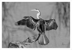 Darter B&W (caralan393) Tags: bw birds