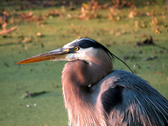 great blue heron facing the sunset (natureburbs) Tags: heron birds birding greatblueheron newjerseywildlife birdsinnewjersey