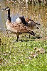 Newest kids on the block (Anda74) Tags: geese babies canadageese canonef70200mmf28lusm