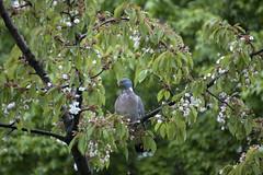 Daar gaan mijn kersen (Dimormar!) Tags: garden blossom pigeon tuin kers kersenbloesem houtduif gelukkigneemthijalleendebovenstetakkentegrazen