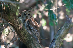 Tawny Owl Strix aluco (Peregrine's Bird Photography) Tags: bird birds aves nash avifauna rarity tawnyowl bird strixaluco photography images birds ireland photographer craig blog wwwperegrinesbirdblogblogspotcom photographybird nashcraig peregrines