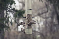 Pine Siskins (Diamond Sails) Tags: wild birds pine siskins