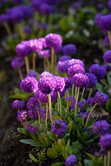 Primula Denticulata in the last of the afternoon sun (Puckpics) Tags: flower spring purple puckle lilac primula horticulture springflowers allrightsreserved bedding nymans beddingflower charlespuckle charlespucklehotmailcom charlesrtpuckle copyrightcharlesrtpuckle201 copyrightcharlesrtpuckle2013 primuladentiulata