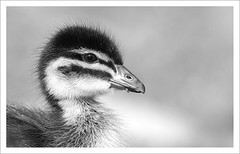 Duckling B&W (caralan393) Tags: bw birds