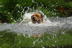 Gundogs (jane currie) Tags: water swim golden pond labrador splash dummy retrieve gundog