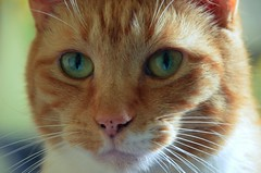 Cosmo (Angryoffinchley) Tags: city uk greatbritain red england orange pet cats pets white cute cat ginger kat chat europe unitedkingdom stripes capital gato buff katze cosmo gatto moggy