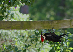 Day 135: Pileated Woodpecker (MickiP65) Tags: wild copyright usa bird gulfofmexico nature birds animal animals coast woodpecker gulf florida wildlife web birding may aves creation northamerica fl 365 135 woodpeckers creatures creature cedarkey animalia avian levy allrightsreserved dryocopuspileatus day135 audubon gulfcoast pileatedwoodpecker copyrighted chordata 2013 michellepearson websized naturecoast img6764 365daysofphotos mickip mickip65 051513 20130515 may152013 05152013