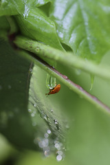 Micro Waterpark (how1970) Tags: macro leaves rain canon leaf ladybug waterdrops howd oaklandlake oaklandgardens 100mmf28lmacro 5dmiii howardlaudesign