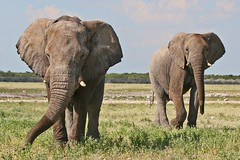 Etosha National Park (Paul A Thomas) Tags: elephants mammals namibia africanelephant etoshanationalpark afrotropical