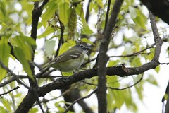 Blue-headed Vireo - Vireo solitarius - Hamilton County, Ohio, USA - May 6, 2013 (mango verde) Tags: ohio usa bird yard migration migrant hamiltoncounty vireo solitarius vireonidae vireosandallies blueheadedvireovireosolitarius