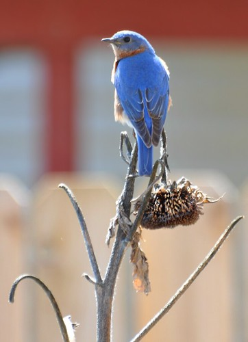 Mr. Beautiful Bluebird