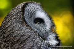 See the light - Great Grey Owl