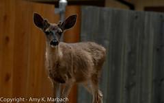 Deer (AmyKay1974) Tags: wildlife pg deer pacificgrove