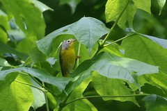 Nashville Warbler - Oreothlypis ruficapilla - Hamilton County, Ohio, USA - May 9, 2013 (mango verde) Tags: ohio usa bird yard nashville migration warbler migrant hamiltoncounty ruficapilla parulidae newworldwarblers oreothlypis nashvillewarbleroreothlypisruficapilla
