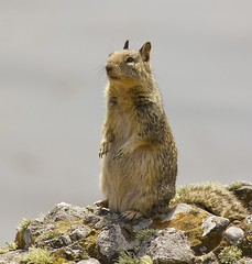 Pt. Lobos Ground Squirrel (dianejp) Tags: california wildlife carmel pointlobos