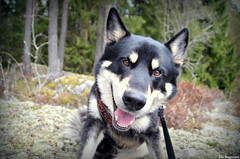 Smiling dog (Ida HB) Tags: dog oslo norway mix husky farm malamute fod