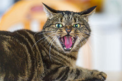 Un chat en colre (Rue89) Tags: cat angry mean nasty