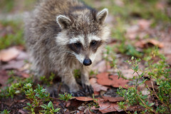(lemank) Tags: beach raccoon