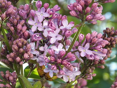 Crystal's Lilacs (RonG58) Tags: pictures new trip travel flowers light plants usa plant flower color macro film nature geotagged botanical photography us photo spring raw day image photos live maine picture images flowerbed photograph hana digitalcamera exploration lilacs photooftheday picoftheday syringavulgaris oleaceae fugifilm domesticflowers northmonmouth rong58 finepixhs50exr