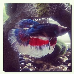 My Hansome #Betta... #Halfmoon #Fish #Ananbantoid #Labyrinth #Teleostei #Ichtheologist #SamsungGalaxyS3 #MaryvilleTn (his 2.0) Tags: square squareformat amaro iphoneography instagramapp uploaded:by=instagram