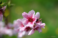 Cherry blossoms / Kirschblten (KLammipic) Tags: macro field 35mm canon cherry dof bokeh blossoms deep kirschblten