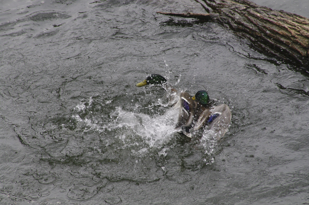 The Worlds Best Photos Of Duck And Rape - Flickr Hive Mind-8649