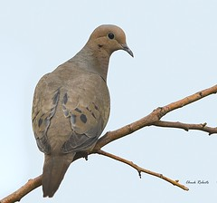 Mourning Dove (colorob) Tags: colorado mourningdove littleton zenaidamacroura coloradowildlife colorob nikond800e