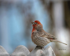 House Finch male (colorob) Tags: colorado housefinch littleton carpodacusmexicanus coloradowildlife colorob nikond800e