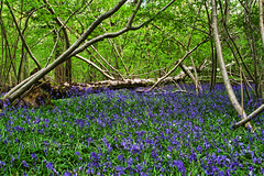 The fallen (Through Bri`s Lens) Tags: trees tree bluebells sussex steyning sigma1770 canon7d