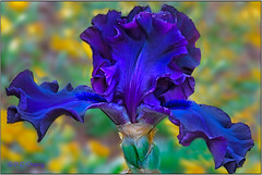 Fabulous Bearded Iris III - Deep Blue in Magic Hour (P C Chang) Tags: blue iris orange plant flower macro green nature beautiful yellow closeup garden petals spring purple blossom lavender winner bloom striking darkblue tallbeardediris pcchang