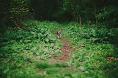 Rory (KelsieTaylor) Tags: blackandwhite dog green happy woods path fast running miniaturehusky alaskankleekai