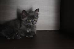 Cat (Nina Petrova) Tags: shadow animal cat canon eyes kitten pretty little awesome gray kitty fluffy gato ragdoll gatinho fofinho persa