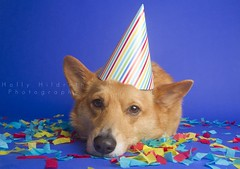 Another Year Older (hhildrethphoto) Tags: birthday columbus ohio party usa dog pets holiday smiling animals puppy studio fun pembroke happy photography corgi midwest funny humorous expression hats happiness wideangle confetti celebration third welsh partyhat streamers northeast celebrating 1635mm canon7d