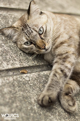 Temple Cat (Wolfics) Tags: brown beautiful animal stone cat concrete temple 50mm day angle low ground vesak