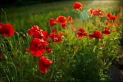 flower & light (4Seasons of Korea) Tags: park light korea olympic rosegarden seouln