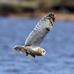 "SHORT EARED OWL (Chas Moonie ""Wild Photography"") Tags: shortearedowl"