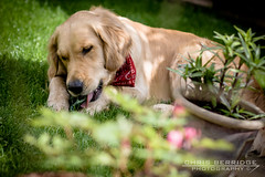 (Chris B 1000D) Tags: birthday old chris 2 portrait dog pet cute field grass cat canon garden puppy happy photography golden poser friend f14 year adorable posing sunny retriever 2nd niece presents jess second fixed pup 50 depth bandanna herbie ziggys berridge