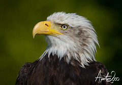 Bald Eagle Portrait (TheApertureMan) Tags: birds falcon raptors birdsofprey falconry sionhall sionhallfalconrycentre