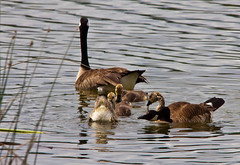 Tipping Training (LongInt57) Tags: family blue brown white canada black green nature water reeds children grey geese babies bc feeding eating okanagan wildlife families gray lakes goose cattails goslings wetlands chicks ganders