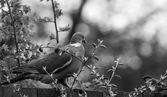 I think you'll find this is my fence! (tgden) Tags: white black bird fence mono dof bokeh pigeon 2013