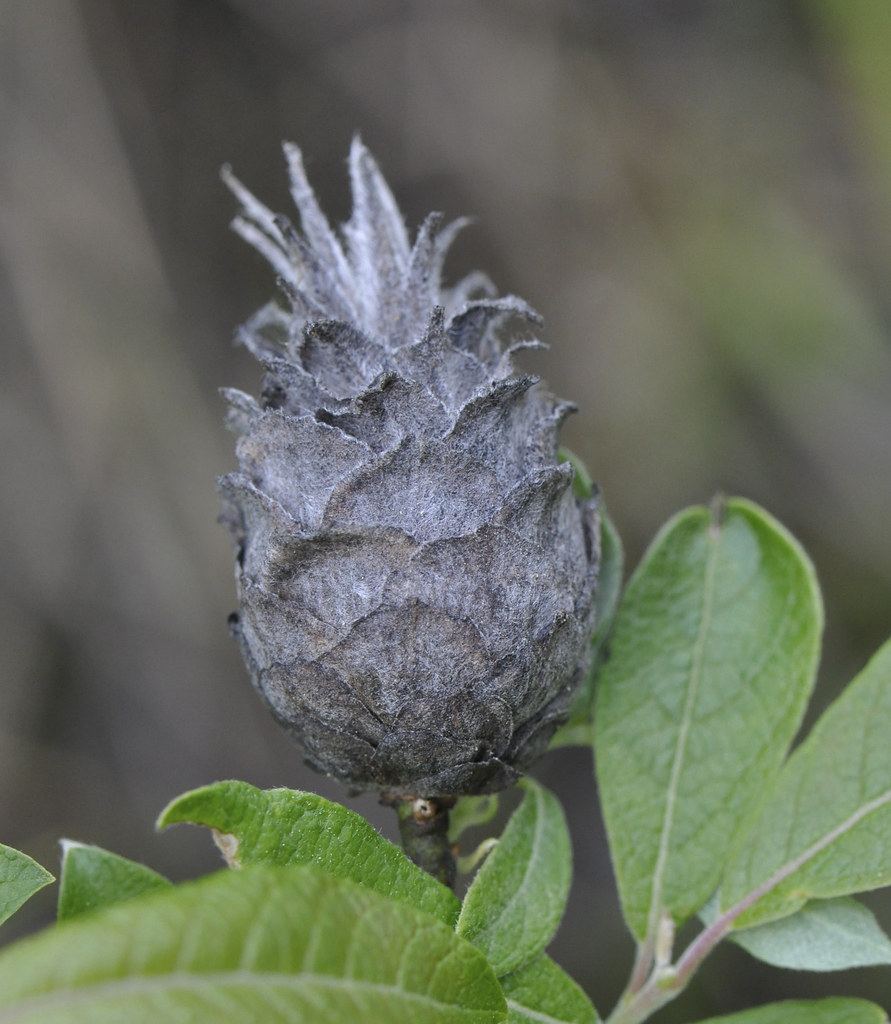 gall fly research paper Missoula, mont — first came the knapweed then came the gall fly and now the mice population is exploding — the mice that carry hantavirus in a.