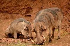 Warthogs (jdnx) Tags: zoo hawaii honolulu warthog honoluluzoo