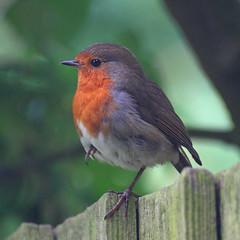 Robin (Treflyn) Tags: uk wild england bird window robin fence garden outside reading one britain wildlife leg gb berkshire resident earley